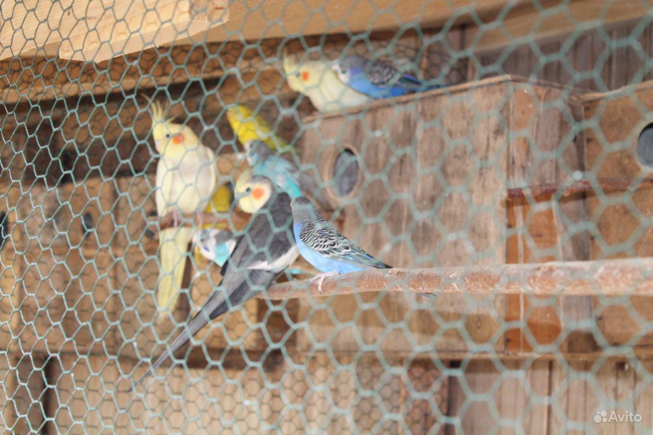 Попугаи волнистые молодёж
