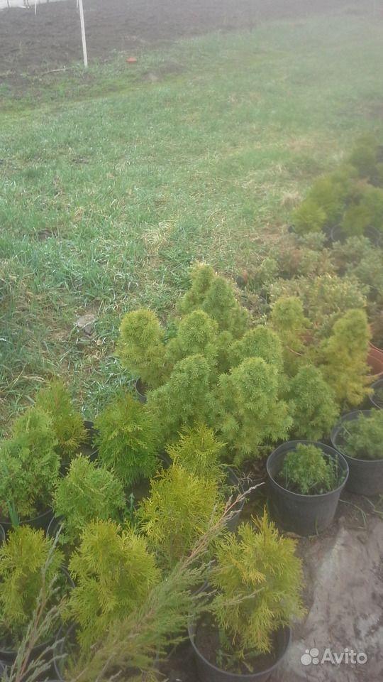 Декоративные хвойные растения купить на Зозу.ру - фотография № 4