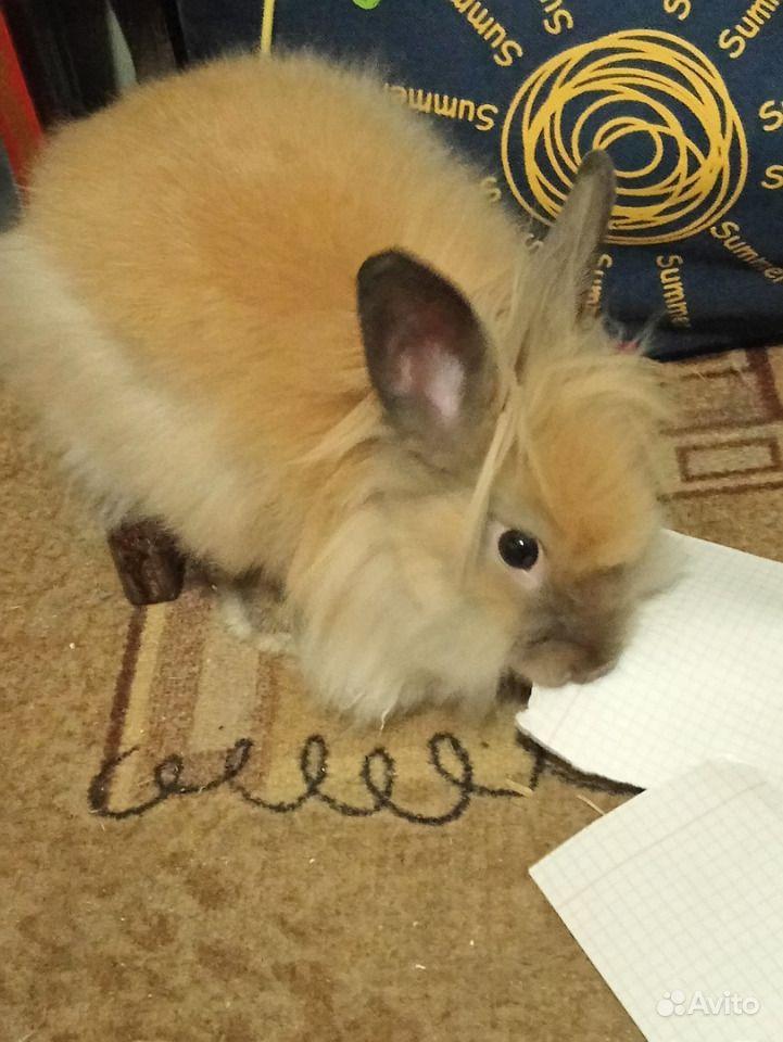 Кролика - мальчик, 8 месяцев - продам