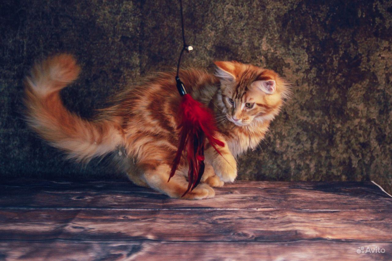 Солнечный котенок мейн-кун в Москве - фотография № 2