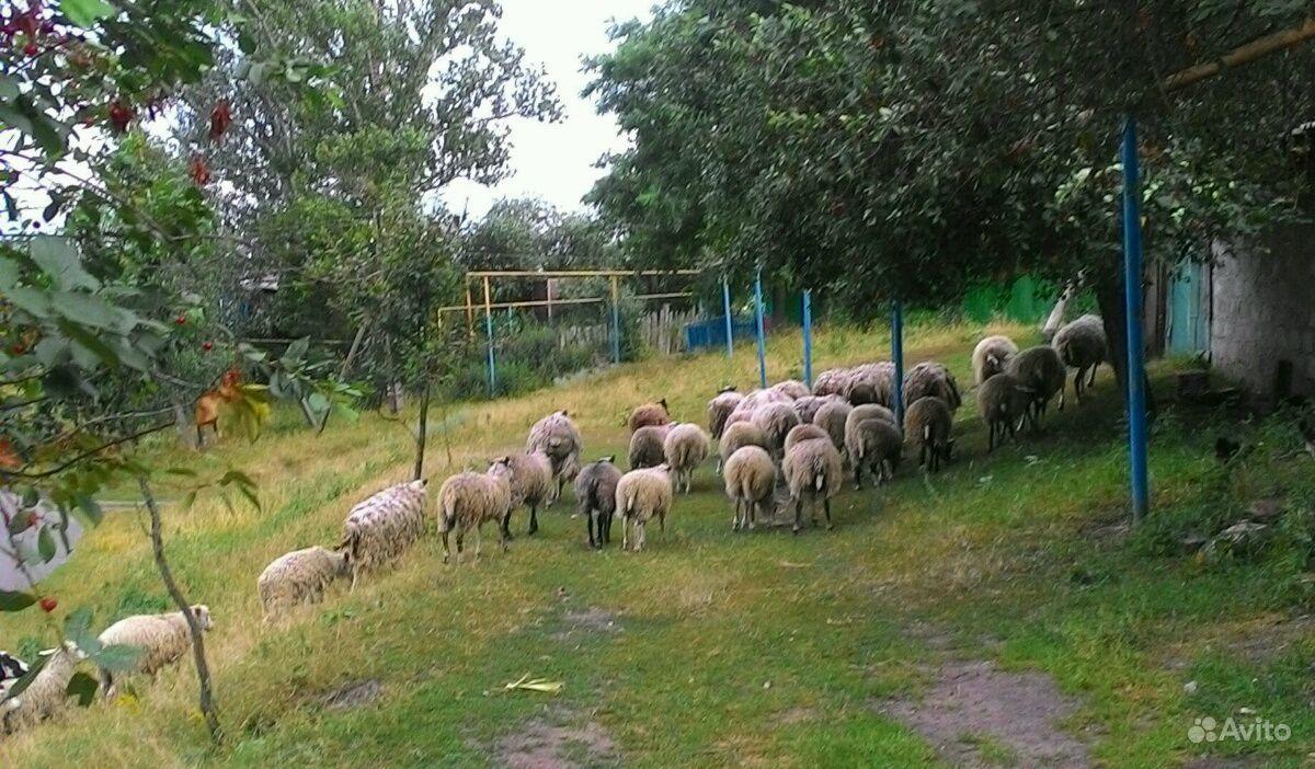 Овцы в Курчатове - фотография № 5