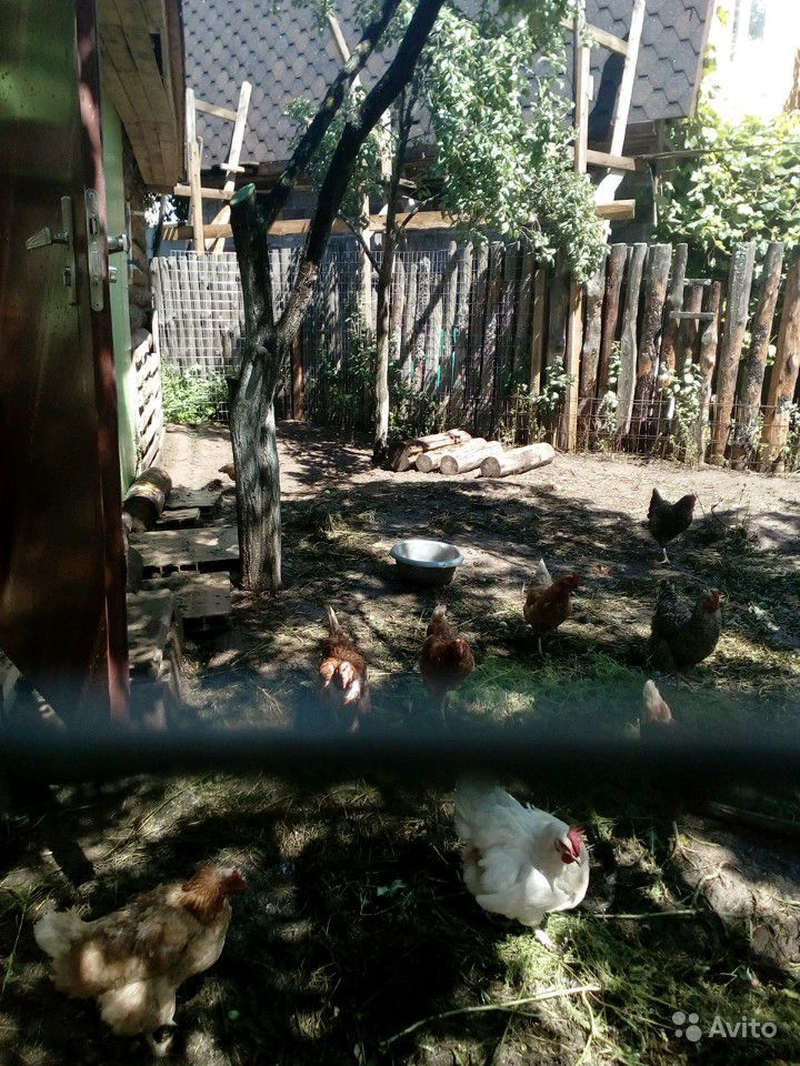 Яйца куриные в Подольске - фотография № 1