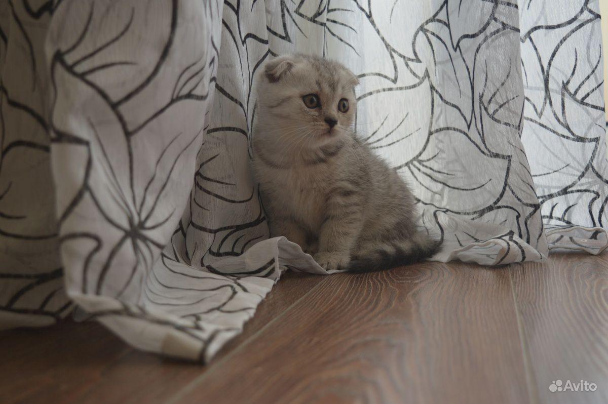 Чистокровные шотландские котята вислоухие и прямоу