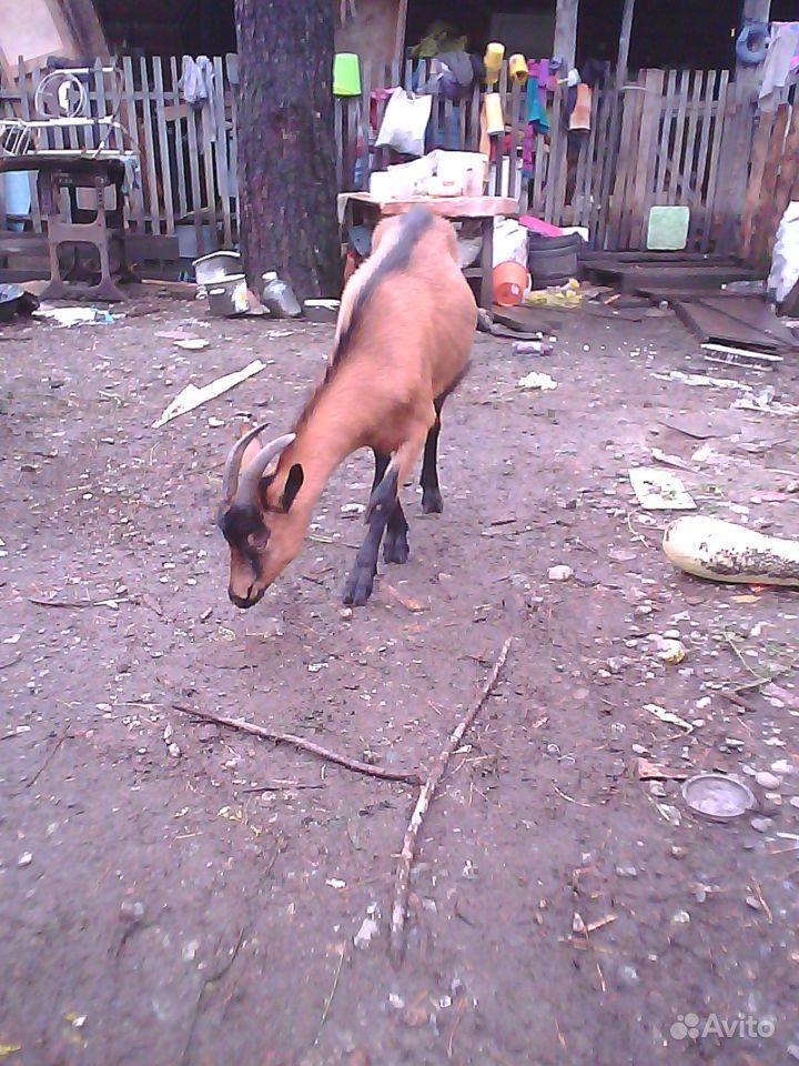 Козы молочной породы и корова(2 отёл)