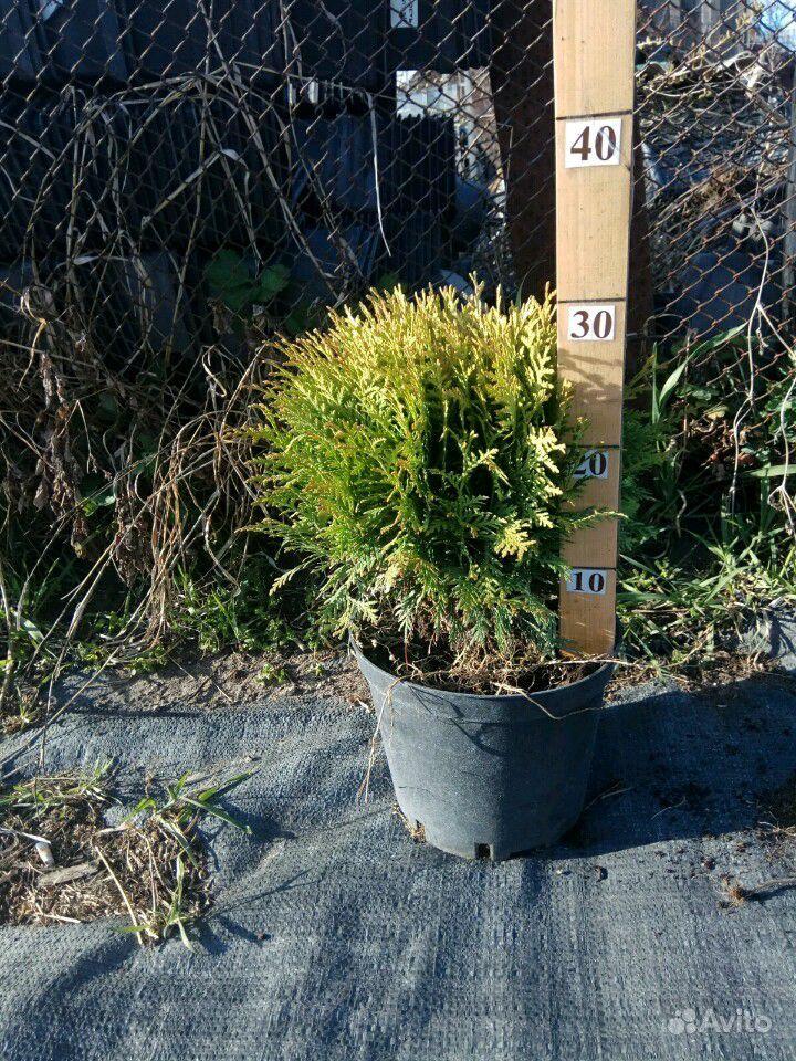 Хвойные растения,Туя (туи,ель,можжевельник) купить на Зозу.ру - фотография № 10