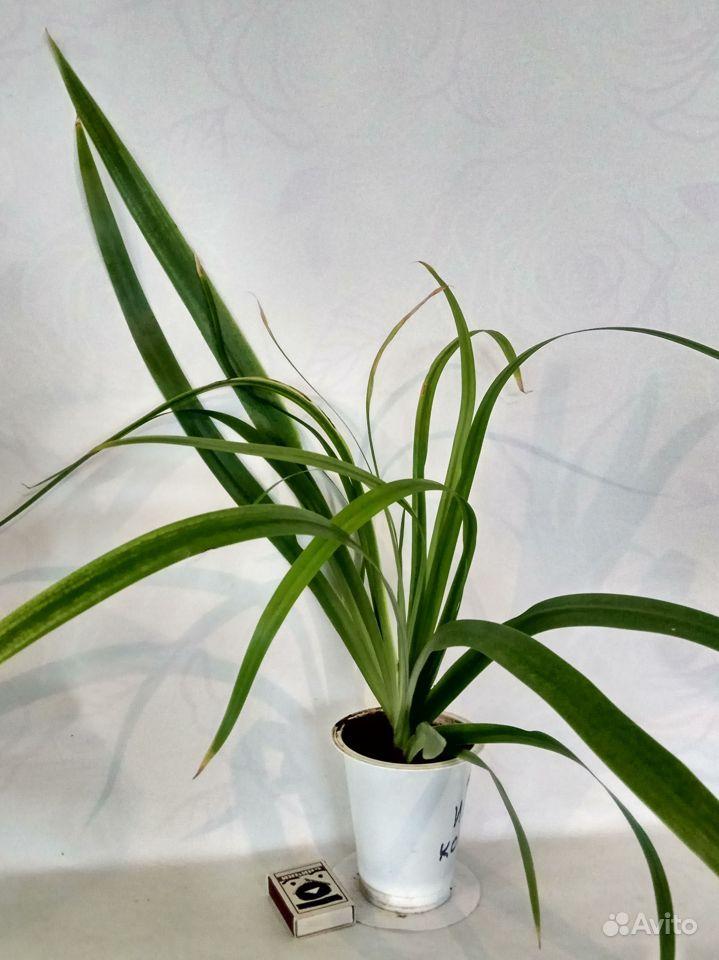 Комнатные растения - кактусы, смотрите и другие ра купить на Зозу.ру - фотография № 5