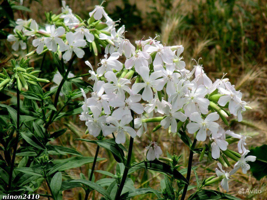 Многолетние цветы купить на Зозу.ру - фотография № 1