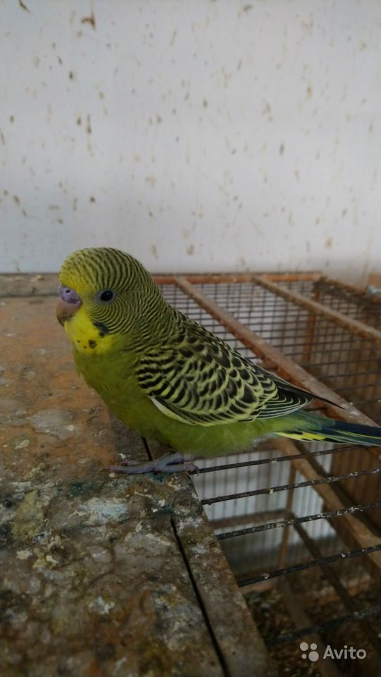 Попугаи кореллы & волнистые купить на Зозу.ру - фотография № 8