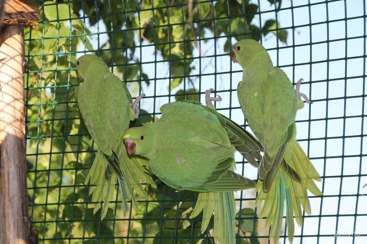 Птенец ожерелогово попугая