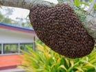 Избавлю от пчёл, пчелиный рой поселился