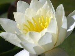 Лилия, цветущая нимфея белая