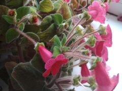 Колерия растение домашние