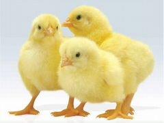 Подаём цыплят броллеров