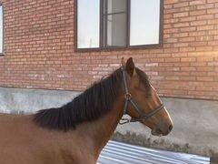 Лошадь Жеребец