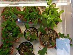 Растения аквариумные и прудовые опт- розница,отпра