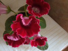 Глоксинию продам листочки или поменяю на др
