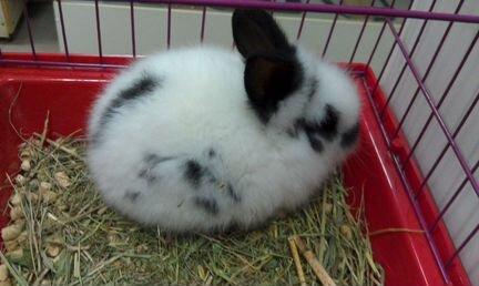 Декоративные кролики объявление продам