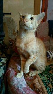 Ориентал,котик для вязки