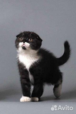 вислоухие чёрно белые котята фото