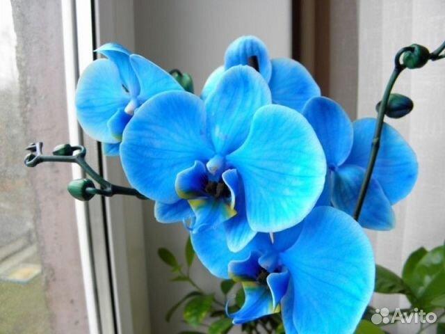 Может ли орхидея поменять цвет цветков
