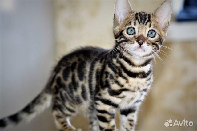 само себе, авито челябинск бенгальские котята бельё
