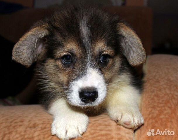 Вельш корги пемброк щенки купить на Зозу.ру - фотография № 3