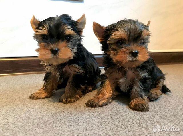 Красивые породные щенки йорка мальчики (видео) купить на Зозу.ру - фотография № 4