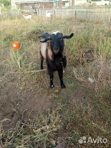 Козы двойные, козлят, козел на племя  89293993135 купить 1