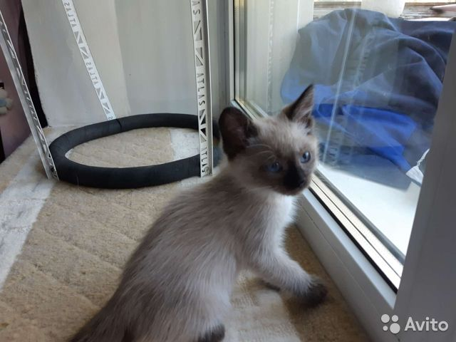 Котенок 2 месяца  купить 3