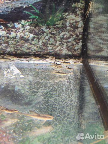 Поступление рыбы аквариумной  купить 4