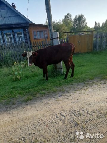 Корова  купить 1