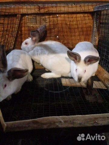 Кролик  89376707200 купить 3