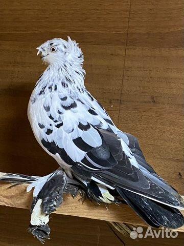 Узбекские голуби  89134552444 купить 10