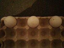 Инкубационное яйцо индийских павлинов