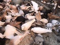 Продаю узбекских голубей. Не вольер все летают — Птицы в Геленджике