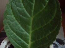 Укоренённый лист махровой глоксинии — Растения в Рязани