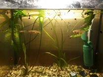 Рыбки гуппи самцы и самки
