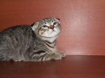 Котенок Скоттиш фолд (вислоухая)