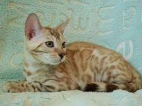 Бенгальские котята (бенгалы)