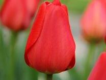 Луковицы тюльпана Parade