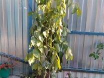 Грецкий орех — Растения в Саратове