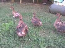 Утки мускусные шипуны, яйца инкубационные, Утята