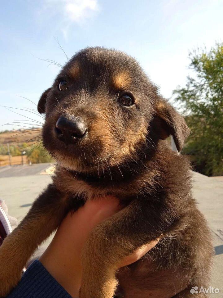 Собака  89276145143 купить 2