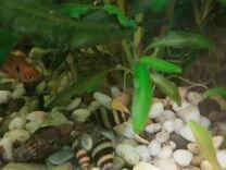 Улитки аквариумные - хелены
