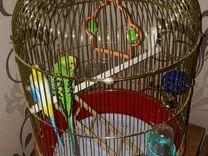 Волнистый молодой попугай