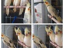 Птенцы кореллы Нимфа