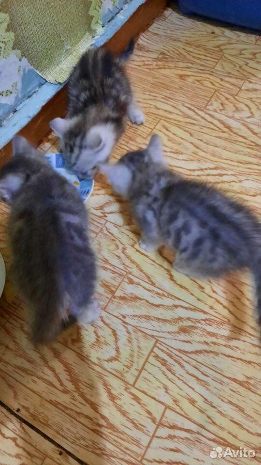 Котята шодландцы  89121484315 купить 2